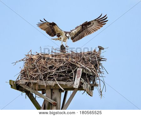 Osprey with open wings building a twig nest on a nesting platform at Jamaica Bay Queens New York City