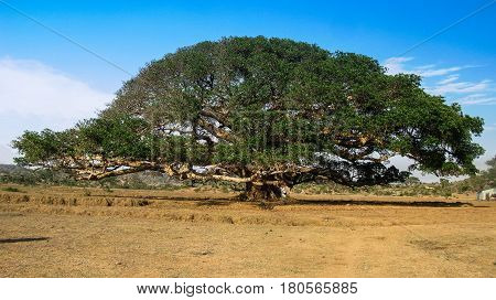 The Heroic Ficus Daaro Sycamore at Segheneyti symbol of Eritrea