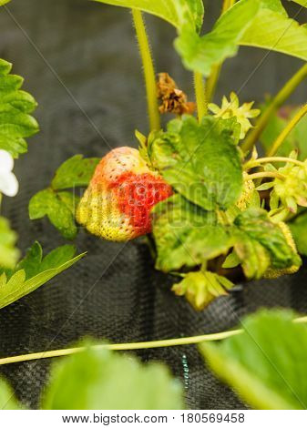 Closeup Of Green Ripening Strawberries With Leafs