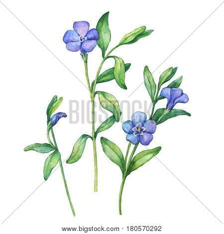 Illustration of  first spring wild flowers - Vínca mínor. Hand drawn watercolor painting on white background.