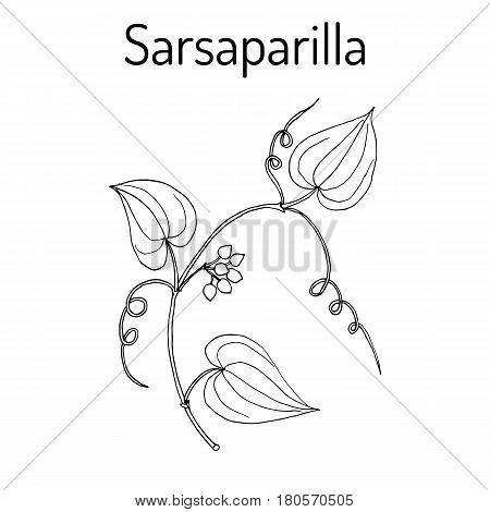 Sarsaparilla Smilax ornata , trailing vine with prickly stem, medicinal plant. Hand drawn botanical vector illustration