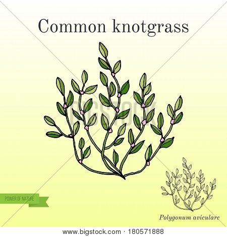 Polygonum aviculare or common knotgrass, or prostrate knotweed, birdweed, pigweed and lowgrass. Hand drawn botanical vector illustration