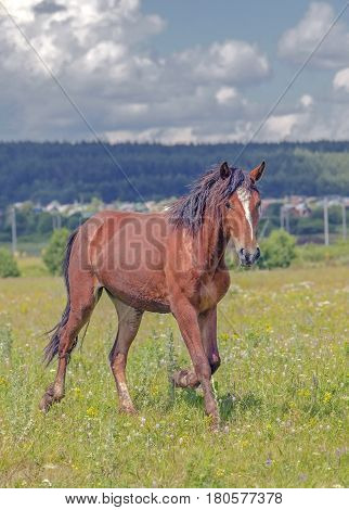 A Young Stallion Galloping Across The Field