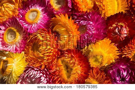 Beautiful of colorful dry straw flowers or everlasting for background. (Helichrysum bracteatum). Outdoor at the daytime on summer day.