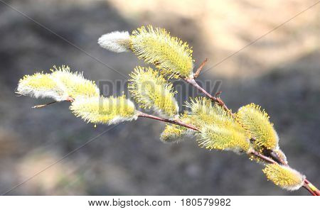 Beautiful yellow pussy-willow in spring on natural background