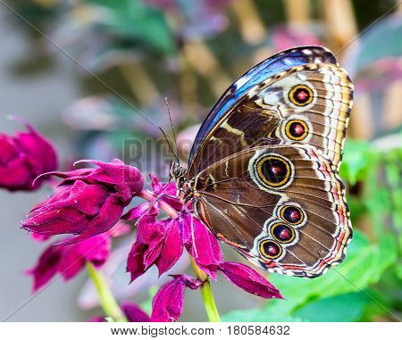 Blue Morpho Butterfly resting. Here you can see the outer wing pattern of round rings or eyes that sometimes confuses it with the owl butterfly.