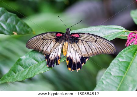 Lowi Swallowtail butterfly perched on a green leaf.