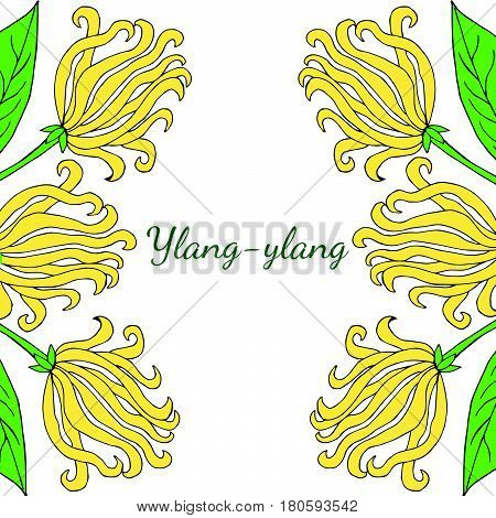 Color frame border template with ylang-ylang sketch. Aromatherapy series square bannerbackground. Great for traditional medicine perfume design cooking or gardening.