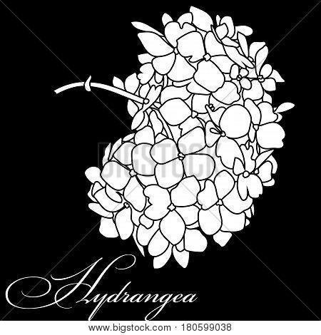 Hydrangea flower, blossom hydrangea flower, drawn hydrangea flower, monochrome hydrangea flower, decoration hydrangea flower. Vector.