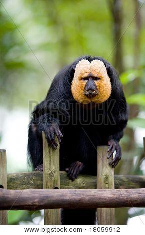 White-faced Saki (Pithecia pithecia) or also known as Golden-face saki monkey resting on wooden fence in a zoo.