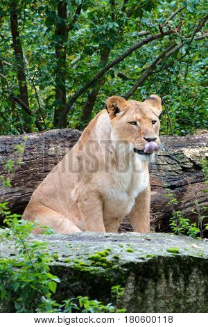 CLose up of a female lion in autumn