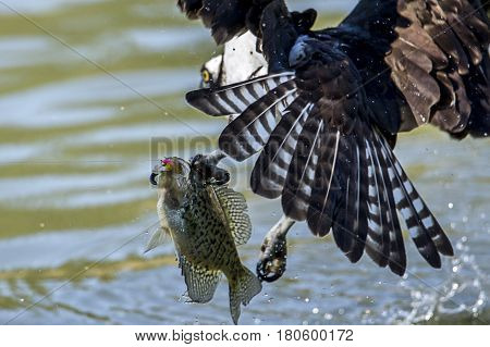 An Osprey tried to grab a crappie that was already hooked by a fisherman at Fernan Lake in north Idaho.