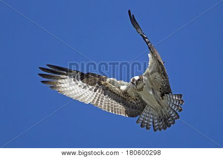 The beautiful wings of an osprey over Fernan Lake in Idaho searching for fish.