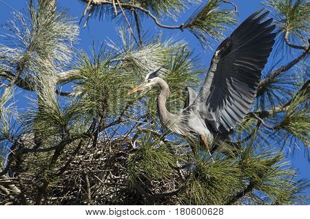 Heron with wings spread in the nest.
