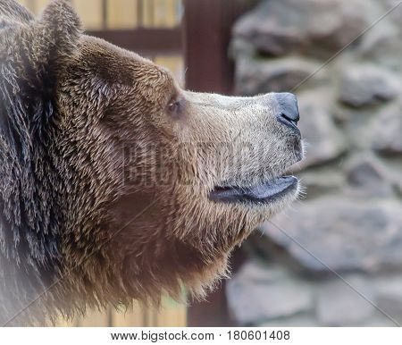 Muzzle large brown bear with thick pure wool