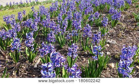 Spring flowers - blue hyacinths on the urban flowerbed