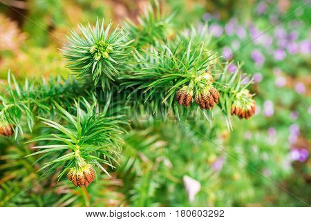 The prickly evergreen plant and flowers. Natural background