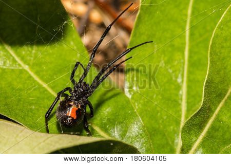A Black Widow Spider hunting in her web