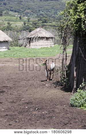 Goat In Maasi Village, Ngorongoro Conservationa Area, Tanzania