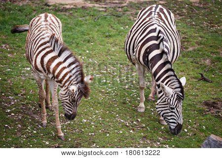 Burchell's zebra mare and young foal (Equus quagga burchellii)