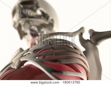 Anatomy body human. Ribs, torso and shoulder. Skeletal system. 3d illustration.