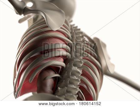 Anatomy body human. Spine and Back. Skeletal system. 3d illustration.