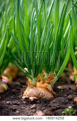 Close-up Of Onion Plantation In A Hothouse - Selective Focus, Vertical