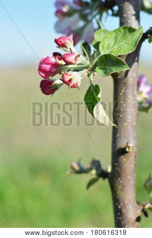 Blossoming small apple-tree brunch with pink red white flowers and buds springtime concept