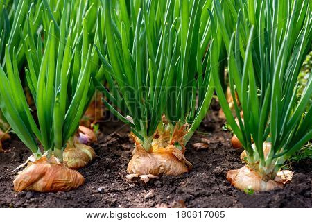 Close-up Of Onion Plantation In A Hothouse - Selective Focus