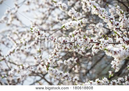 Blossom brunches of peach and apricot trees on the blue sky background. sunny spring day