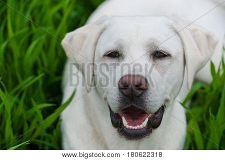cute white labrador retriever dog puppy on a meadow with green grass