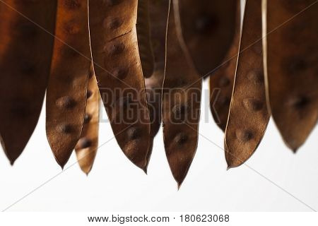 Brown acacia seedpods hanging against a white background