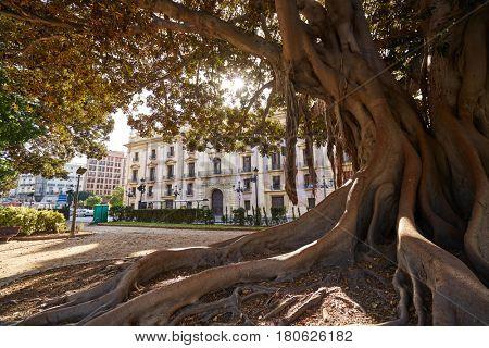 Valencia La Glorieta park big ficus tree in Spain