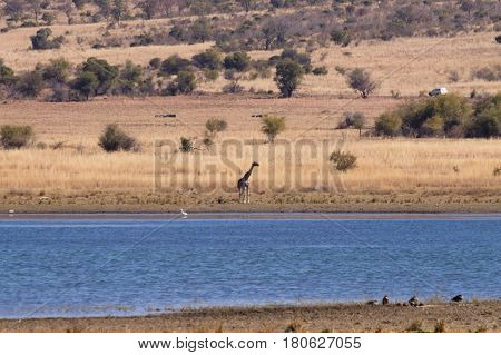 Giraffe From South Africa, Pilanesberg National Park. Africa