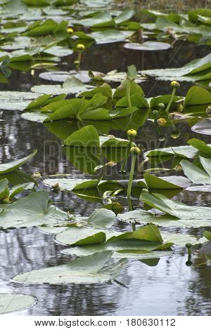 Florida wet lands habitat covered in lilly pads and water lillies blooming with yellow flowers in January