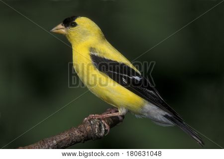 A male American Goldfinch sits on a branch with a green background