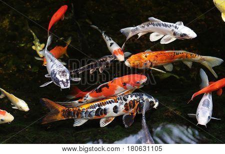 Colored carp koi swim in a pond (Lat.- Cyiprinus caprio coi)