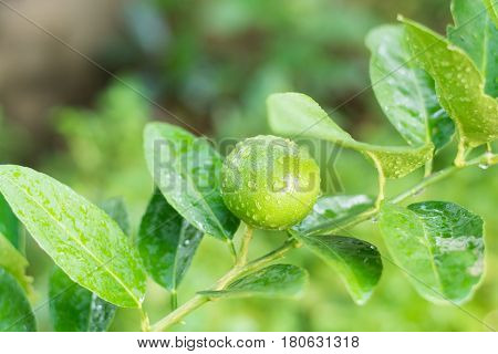 Fresh Lime tree with fruits,  green lime leaves