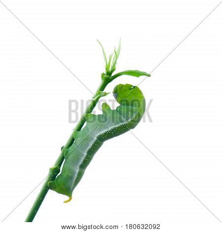 Caterpillar Green Eating Isolated On White