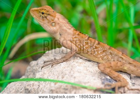 The Chameleon is brown color at home.