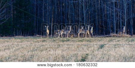 Herd of White-tail deer (odocoileus virginianus) on the edge of a field ready to run poster