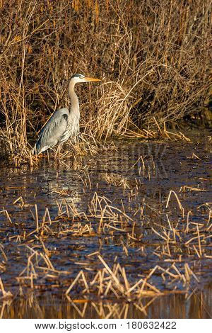 Great Blue Heron (Ardea herodias) wading in a marsh on Lake Wausau, Wisconsin in April