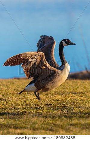 Canada Goose (branta canadensis) flappiing its wings after landing on the ground