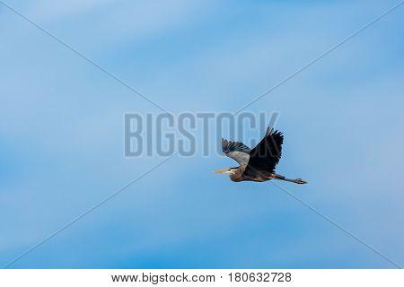 Great Blue Heron (Ardea herodias) flying in a blue sky
