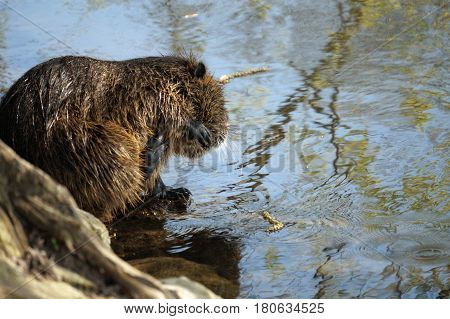 the picture shows a wild living nutria