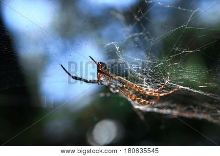 Cyrtophora Moluccensis Is A Tent-web Spider In The Orb-weaver Family. It Is Native To India, Japan,