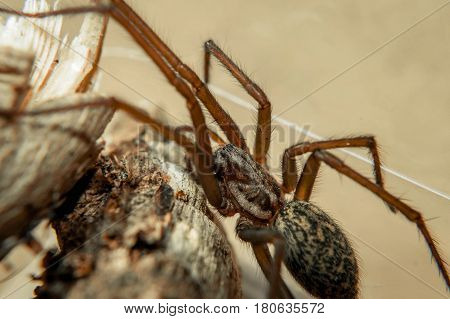 The Giant House Spider, Now With The Scientific Name Eratigena Atrica, Is One Of The Biggest Spiders