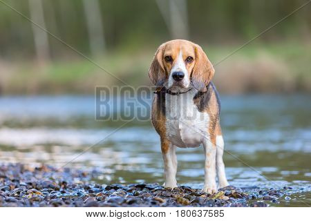 Portrait Of A Beagle Dog At The River