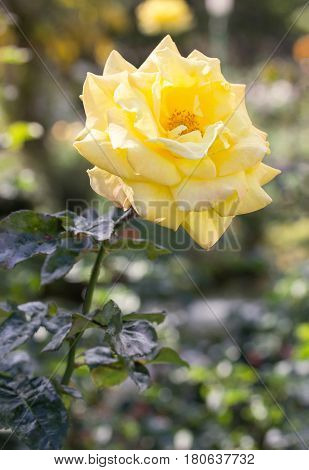 yellow rose flower blooming in a garden