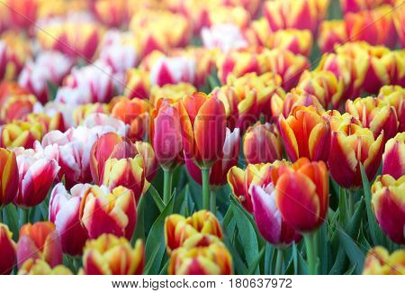 Colorful Tulip Flower Fields Blooming In The Garden